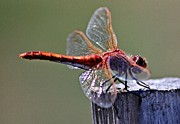 Macro Dragonfly Picture Posters - Red Dragon on a post Poster by Don Mann