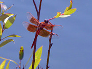 Cija Black - Red Dragonfly