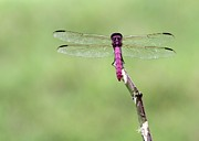 Sabrina L Ryan - Red Dragonfly Dancer
