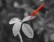 Abdomen Photos - Red Dragonfly by Joe  Ng
