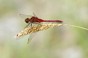 Dragonfly Framed Prints - Red Dragonfly Framed Print by Sharon  Talson