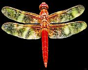 Red And Green Photo Metal Prints - Red Dragonfly Metal Print by Tony Grider