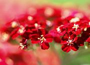 Macro Flower Originals - Red Dreams by Catherine Lau