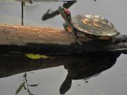 Slider Framed Prints - Red Eared Slider Turtle Framed Print by Scott Hovind