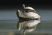 Dime Store Posters - Red Eared Sliders in Pond Poster by Konrad Wothe