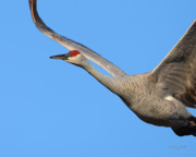 Cranes Prints - Red Eye Flight Print by Gerry Sibell