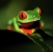 Drop Framed Prints - Red Eye Green Frog Framed Print by Wildlife Cosmos