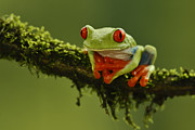 Juan Carlos Vindas Acrylic Prints - Red-eye Tree Frog Acrylic Print by Juan Carlos Vindas