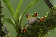 Juan Carlos Vindas Acrylic Prints - Red-eye Tree Frog on mossy perch Acrylic Print by Juan Carlos Vindas