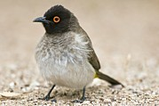 Northern Africa Prints - Red-eyed Bulbul Print by Peter Chadwick
