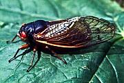 Cicada Posters - Red Eyed Cicada Poster by Douglas Barnett