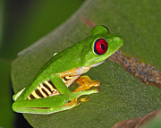 Sensitive Prints - Red-eyed Leaf Frog Print by Tony Beck