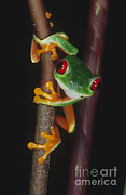 Central Colorado Framed Prints - Red-eyed Tree Frog Agalychnis Callidryas Framed Print by Gregory G. Dimijian, M.D.