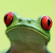 Green Day Art - Red-eyed Tree Frog (agalychnis Callidryas) by Peter Lilja