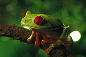 Tree Frog Prints - Red-eyed Tree Frog Agalychnis Print by Heidi & Hans-Juergen Koch