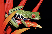 Tree Frog Prints - Red-eyed Tree Frog Agalychnis Print by Michael & Patricia Fogden