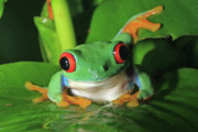 David Freuthal Posters - Red Eyed Tree Frog Poster by David Freuthal