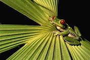 Costa Rica Posters - Red-eyed Tree Frog In Costa Rica Poster by Roy Toft