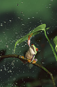 Humour Photos - Red-eyed Tree Frog In The Rain by Michael Durham