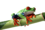 Frog Photo Posters - Red-eyed Tree Frog Poster by Mlorenzphotography