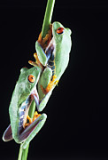 Tree Frog Prints - Red-eyed Tree Frogs Print by David Aubrey