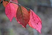 Red Fall Leaf  Print by Rick Rauzi