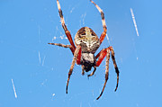 Frightening Posters - Red Femured Orb Weaver Poster by Kenneth Albin