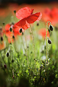 Poppy Field Posters - Red Field Poppies Poster by Jacky Parker Photography