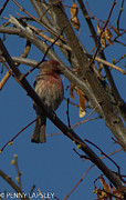 Red Finch Originals - Red Finch by Penny Lapsley