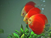 Bubble Framed Prints - Red Fish Framed Print by Vietnam