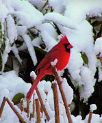 Cardinal In Snow Prints - Red Flame... Print by Tanya Tanski