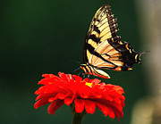 Wild Wings Metal Prints - Red Flower and Butterfly Metal Print by Nick Zelinsky