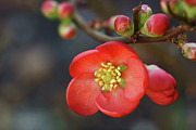 Stamen Photos - Red Flowering Quince by Picture By La-ong