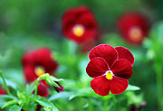 Garden Petal Image Photos - Red Flowers by Cheap price for nice pictures