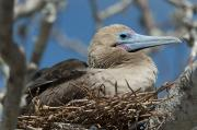Aves Prints - Red-footed Booby Sula Sula Sitting In A Print by Keith Levit