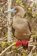 Galapagos Islands Posters - Red-footed Booby Poster by Tom Cheatham