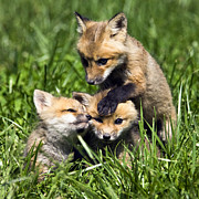 Canid Prints - Red Fox Babies - D006647 Print by Daniel Dempster