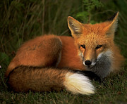 Bruce Colin - Red Fox
