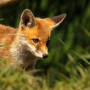 One Animal Posters - Red Fox Cub In The Grass Poster by Chris Jolley