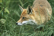 Vulpes Vulpes Prints - Red Fox Hunting Print by Duncan Shaw