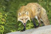 Wild Animals Art - Red Fox by John Pitcher