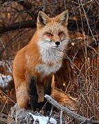Mammal Art - Red Fox Pausing Atop Log by Max Allen