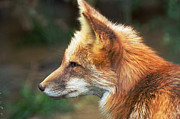 Cheryl Cencich Art - Red Fox Profile by Cheryl Cencich