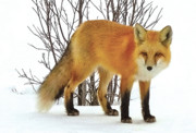 John Scariano - Red Fox Redstone Colorado