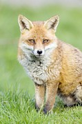 Vulpes Prints - Red Fox Sitting On Grass Print by Duncan Shaw