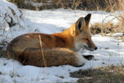 Red Fox Sleeping In The Snow Print by Pierre Leclerc Photography