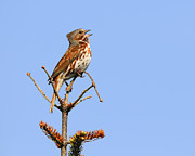Madeleine Photos - Red Fox Sparrow by Tony Beck