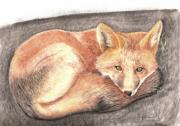 Fox Pastels Prints - Red Fox Sunning Print by Russ  Smith