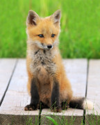 Tony Photos - Red Fox by Tony Beck