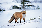 Carnivores Prints - Red Fox Vulpes Vulpes Portrait Print by Konrad Wothe
